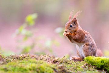 Eichhörnchen mit rosa Hintergrund I von Cindy Van den Broecke