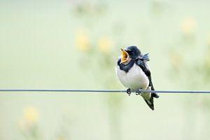 Zwaluw zingt het hoogste lied.  van