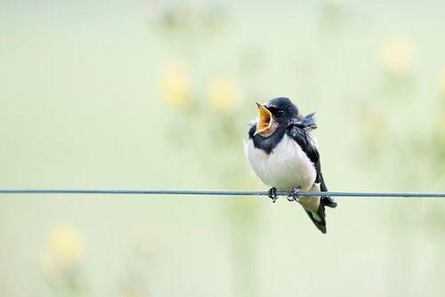 Zwaluw zingt het hoogste lied.  van Francis Dost