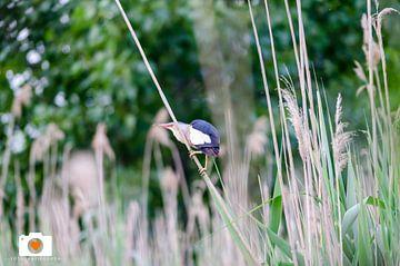 Schitterend vogel zeldzaam (woudaap) van Jorg van Krimpen