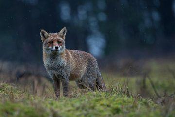 Fuchs am Waldrand... Rotfuchs *Vulpes vulpes* von wunderbare Erde