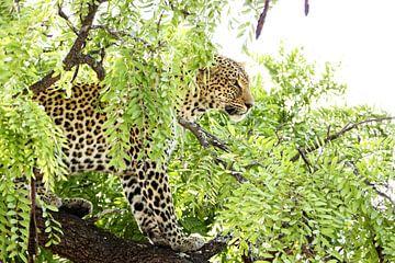 Krachtig portret van een luipaard in de Afrikaanse jungle von Romy Wieffer
