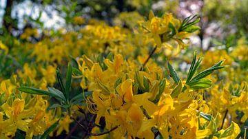 gele bloemen in de botanische tuinen van Wageningen van