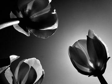 Hollandse tulpen in zwartwit van Jessica Berendsen