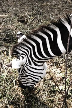Zebra / Zèbre / van melissa demeunier