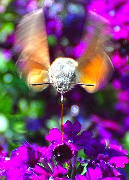 Honingdrinkende kolibrievlinder  von