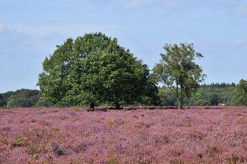 Tischheide in Blaricum in Blüte mit violettem Heidekraut von Robin Verhoef