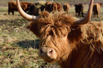 Een Galloway koe met zijn kudde van Ulrike Leone