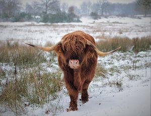 Schotse hooglander in de sneeuw van