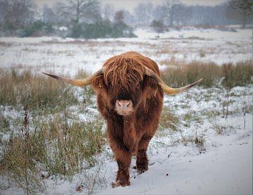 Schotse hooglander in de sneeuw van Laura van Drogen