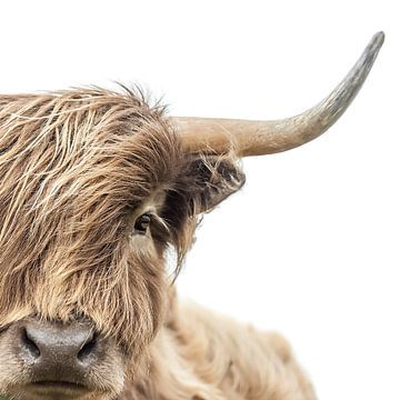 Portret Schotse Hooglander van Diana van Tankeren