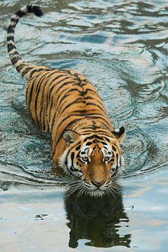 Tigre dans l'eau. sur Michael Semenov
