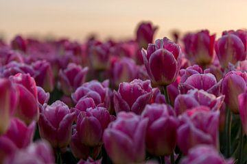 Groninger Tulpen von Bart Achterhof