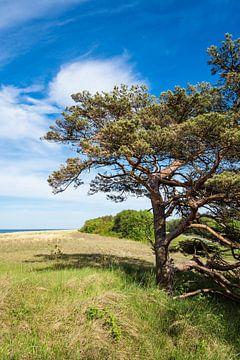 Trees on the Baltic Sea coast van