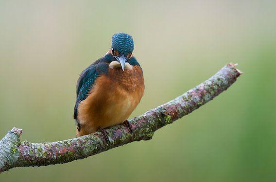 Jonge IJsvogel