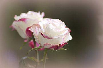 roses in the mirror x2 bloem van Groothuizen Foto Art