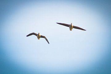 Gänse im Flug von RedRoseFotografie