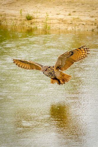 Een Oehoe, de roofvogel vliegt met uitgespreide vleugels  boven een meer. Mooie reflectie in het wat