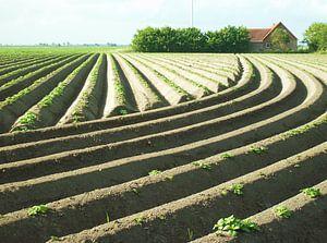 Aardappelruggen van