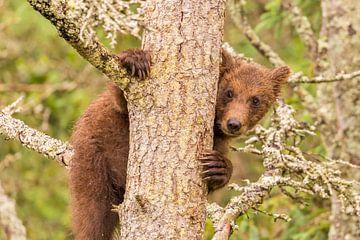 Een jonge Grizzlybeer  van Koop point