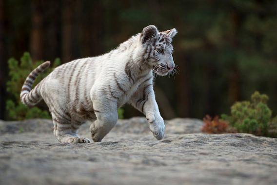 Bengal Tiger ( Panthera tigris ), white, young animal
