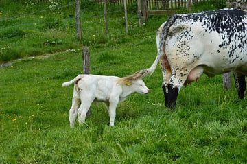 Kuh mit Kalb von Susanne Seidel