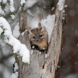 Martre des pins / Spruce Marten ( Martes americana ) regardant de sa cachette dans une vieille souch sur wunderbare Erde