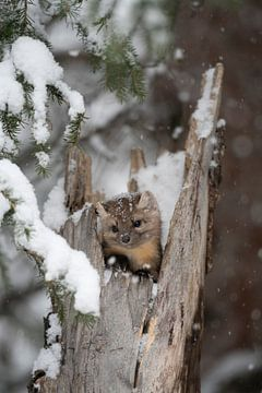 Baummarder / Fichtenmarder ( Martes americana ), Jungtier schaut aus seinem Versteck in einem alten  von wunderbare Erde