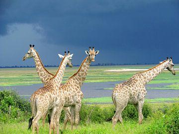 Giraffen voor de storm von Kim van de Wouw