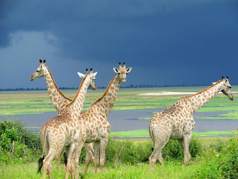 Giraffen voor de storm