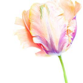 Tulp van Hennie Zeij