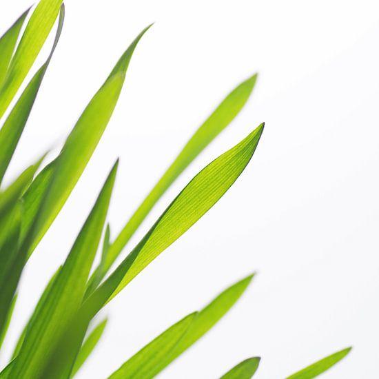 Groen gras type een