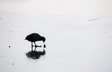 Meerkoet op het ijs van Susan Dekker