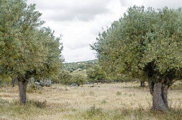 Olijfboomgaard met schapen Alentejo streek Portugal van Hannie Kassenaar