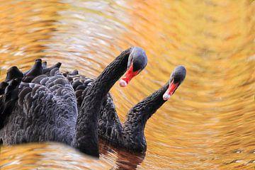 Zwarte zwanen koppel op golf van Bobsphotography