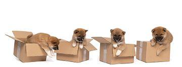 Vier Shiba Inu pups zittend in een kartonnen doos panorama tegen witte achtergrond van Leoniek van der Vliet