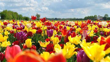 Hollandse tulpen op veld van Charlotte van Noort