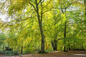 Beukenbomen in een bos in herfstkleuren  von Henk van den Brink