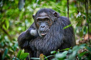 Schimpanse, Pan troglodytes van Jürgen Ritterbach
