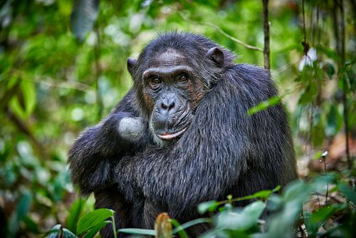 Schimpanse, Pan troglodytes von Jürgen Ritterbach