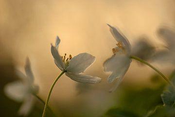 Tanz der anemonen von Birgitte Bergman