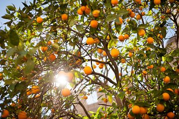 Zomerse Sinasappelboom van
