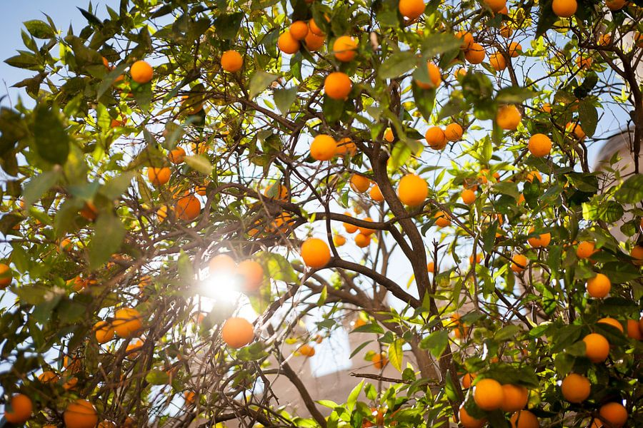 Zomerse Sinasappelboom van Arthur van Iterson