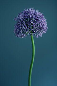 Allium van Carla Van Iersel