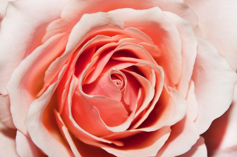Roos van Maurice Looyestein