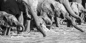 Soif - troncs d'éléphants sur Sharing Wildlife