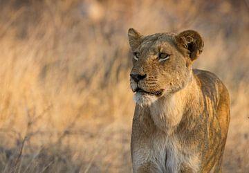 Löwin auf der Jagd`in Afrika von Discover Dutch Nature