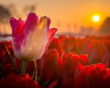 Tulp met dauw tijdens zonsopkomst. van
