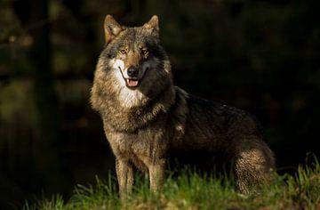 wolf vrouwtje  van Rando Kromkamp