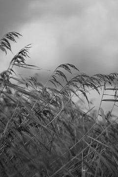 Riet zet wind von Ruud Wijnands